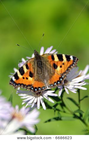 Butterfly Urticaria