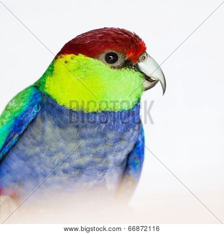 The Red-capped Parrot (purpureicephalus Spurius)
