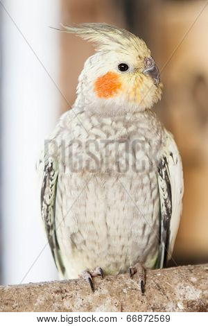 The Cockatiel (nymphicus Hollandicus)
