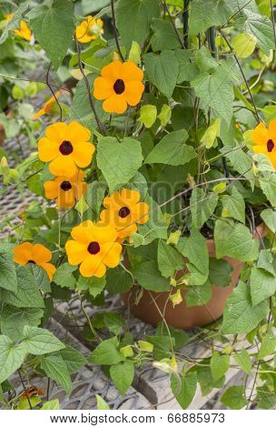 Blackeye Susan Flowers in a Planter