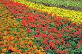 stock photo of bonnes  - colorful flower bed in Bonn in Germany nature daytime - JPG