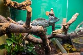 stock photo of terrarium  - Exotic lizard in the terrarium - JPG