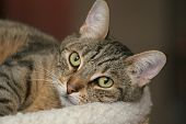 stock photo of tabby-cat  - Domestic tabby cat - JPG