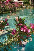 stock photo of oleander  - Pink oleander lines the edges of the pool as Russians and other tourists swim in the thermal pools amidst ancient Roman columns of the spa - JPG