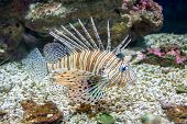 picture of mile  - Common Lionfish or Devil firefish (Pterois miles) close-up in aquarium ** Note: Soft Focus at 100%, best at smaller sizes - JPG