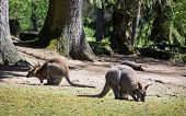 image of wallabies  - Group of Red-necked wallaby (Macropus rufogriseus). Animal theme.