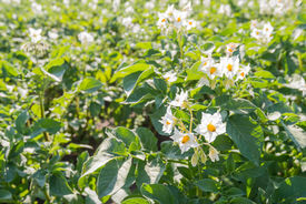 foto of solanum tuberosum  - Closeup of yellow and white blossoming Potato or Solanum tuberosum plants in late afternoon sunlight in the beginning of the summer season - JPG