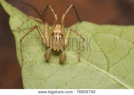 Lynx Spider On A Leaf