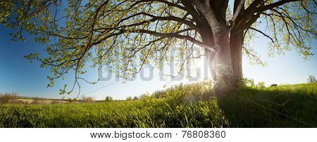 Panorama of the green spring meadow with oak tree
