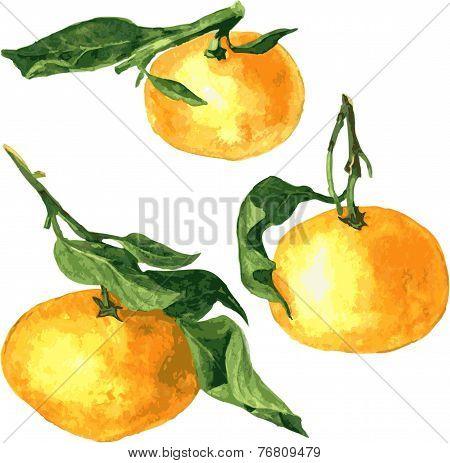 set of watercolor drawing mandarines