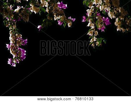 Bougainvillea margin