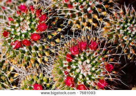 Beautiful Cactus Flower Blossom