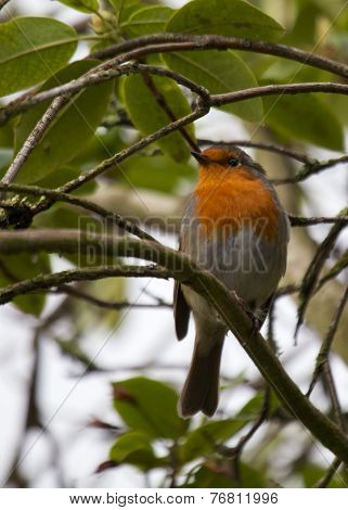 Robin Red Breast On Branch