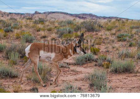 Utah Pronghorn American Antelope - Antilocapra Americana