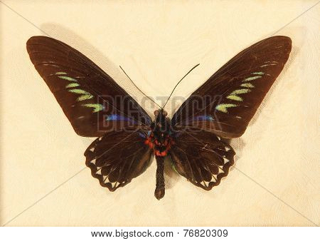 Butterfly Rajah Brookes Birdwing.trogonoptera Brookiana.wall Decal.
