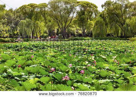 Lotus Garden Summer Palace Beijing China