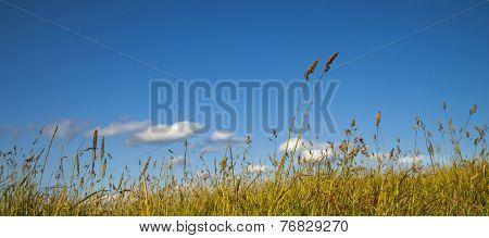 Summer Day, Long Grass Swaying In Wind, Meadow, Blue Sky.