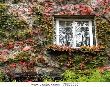 Red and green ivy leaves on the wall with a window.