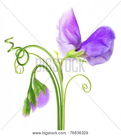 Sweet pea flower isolated on white background