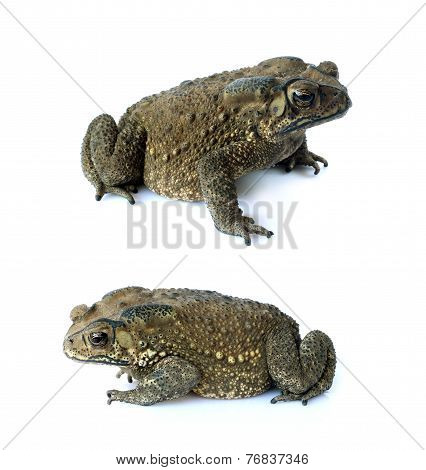 Toad Isolate On A White Background