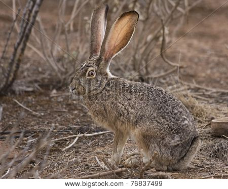 Jack Rabbit on Alert