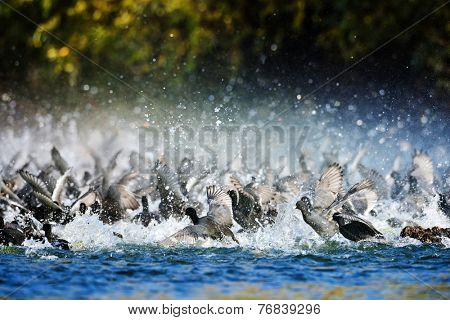 group of agitated coots on the lake (fulica atra)
