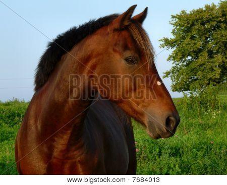 Bay Morgan Horse