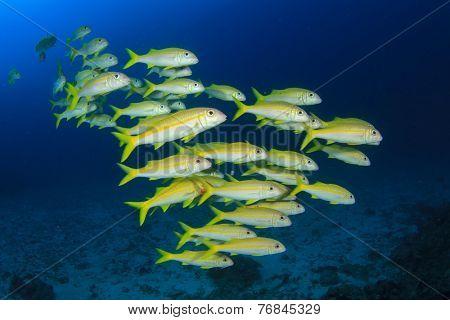 School yellow fish: goatfish underwater