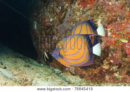 Pair Ringed Angelfish