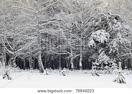 snow winter time in deep Siberia forest