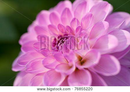 Pink Dhalia Closeup