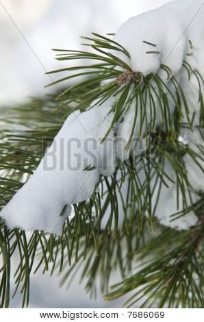 Snow on a Pine Tree