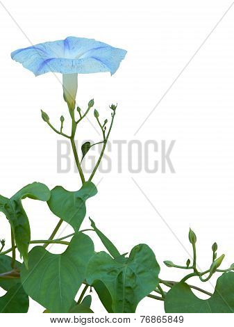 Ipomoea. Flying Saucer Morning Glory, isolated on white background