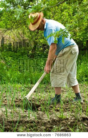 Farmer Digging Cultivated Onion