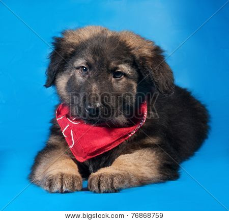 Black And Red Shaggy Puppy In Red Bandane Lies On Blue