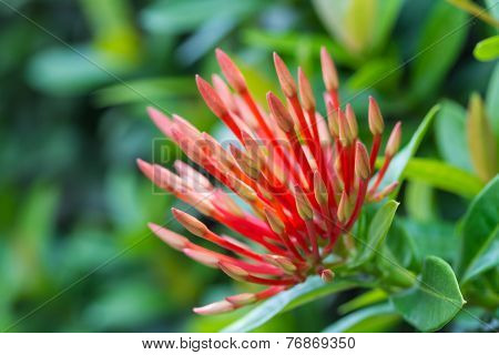 Jungle geranium or Ixora coccinea flower