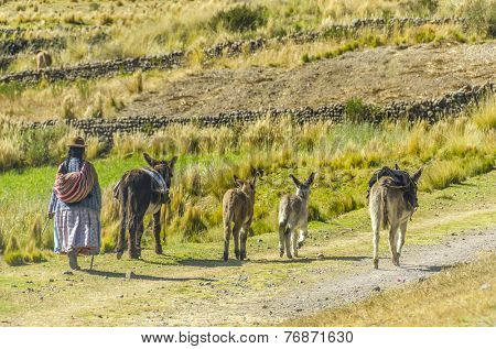 PUNO, PERU, MAY 6, 2014: Peruvian countryside in region of Lake Titicaca - Local woman walks with donkeys