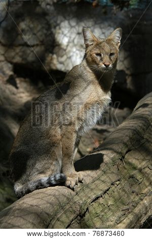 Jungle cat (Felis chaus).