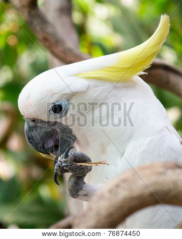 Yellow-crested White Cockatoo