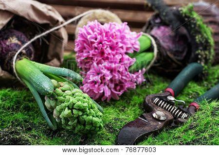 blossoming spring flower hyacinth