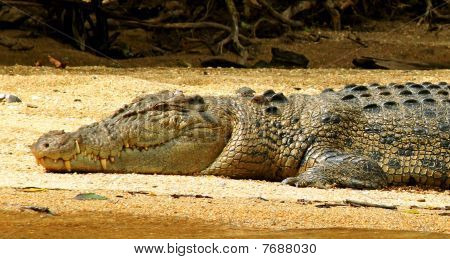 Crocodile On River Bank