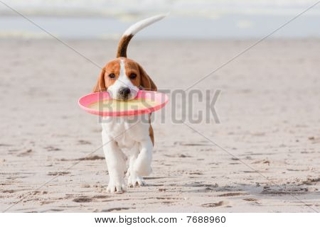Beagle Puppy Playing