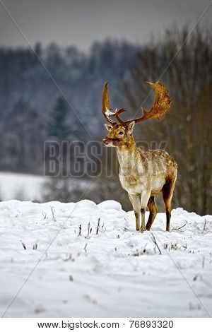 Fallow Deer In Winter Snow Field