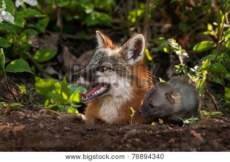 Grey Fox Vixen And Kit (urocyon Cinereoargenteus) Look Left Out Of Den