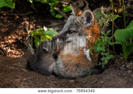 Grey Fox (urocyon Cinereoargenteus) Vixen And Kit Touch Noses
