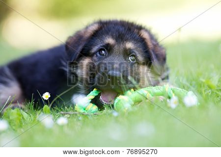 German Shepherd Puppy Playing With Rope