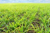 image of photosynthesis  - Young wheat seedlings growing in a soil - JPG