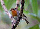 pic of red robin  - Robin Red Breast On Branch in Ireland - JPG
