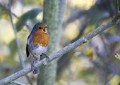 stock photo of red robin  - Robin Red Breast spotted in Dublin - JPG