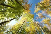 picture of alder-tree  - Autumn beech trees on a cloudless morning - JPG